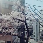 ニッケ銀羊苑 荒川 「桜の季節を満喫!!」の画像