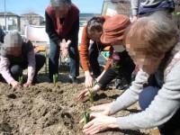 ニッケつどい加古川 「チューリップ植えました。」の画像