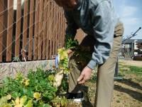 ニッケれんげの家・加古川 「手作り大根の収穫」の画像