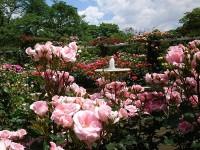 ニッケあすも市川 「バラの季節になりました。」の画像