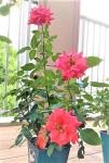 ニッケあすも一宮 「バラの鉢植え」の画像