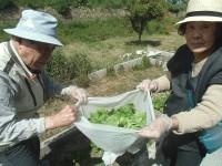 ニッケてとて加古川 「野菜の収穫」の画像