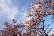 ニッケあすも一宮 「お花見に行きました♡」の画像