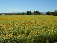 ニッケつどい加古川 「ひまわり畑」の画像